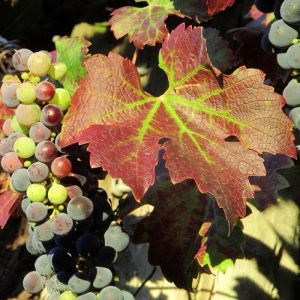 Viticulture: Farming for the Future @ Louck's Auditorium (Salem City Library)